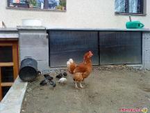 Kvočna s kuřátky má privilegium - smí chodit volně po dvoře (ostatní slepice né).